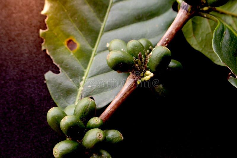 Groene koffiebonen royalty-vrije stock fotografie