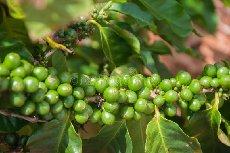 Groene Koffiebonen nog op de tak bij een landbouwbedrijf in Kauai, Hawaï royalty-vrije stock afbeeldingen