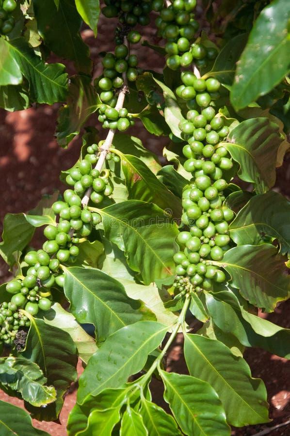 Groene Koffiebonen nog op de tak bij een landbouwbedrijf in Kauai, Hawaï stock afbeeldingen