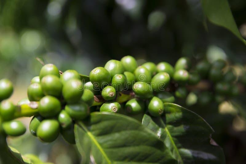 Groene koffiebonen op tak stock afbeeldingen