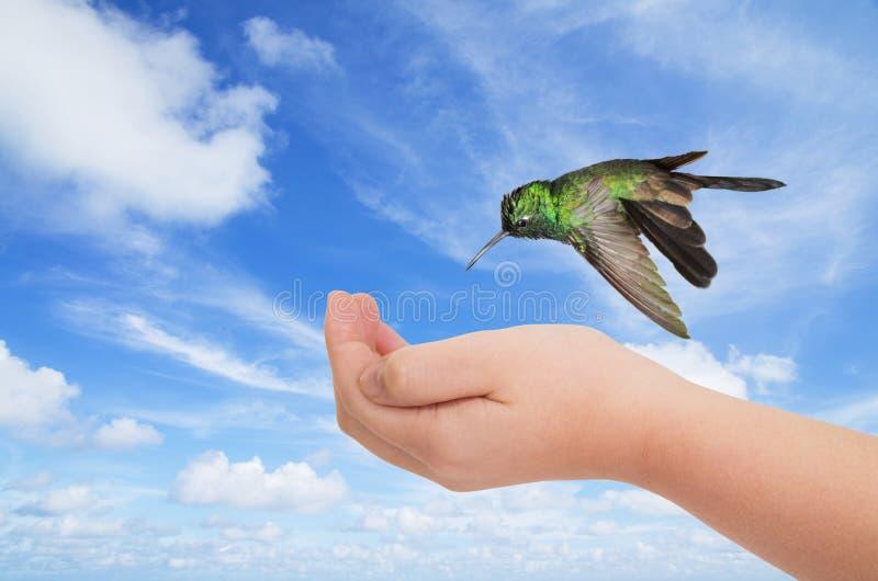 Groene kolibrie die over een jonge hand hangen stock fotografie