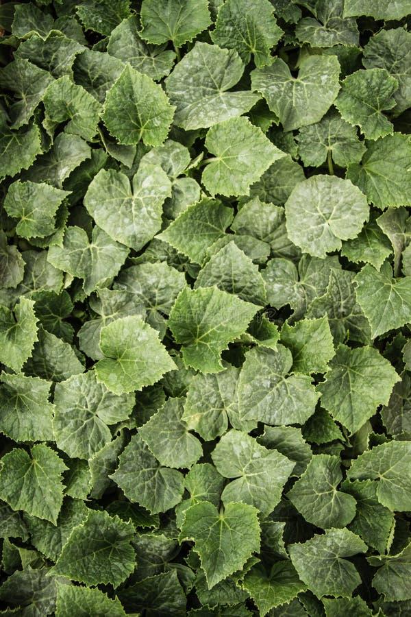 Groene Komkommerbladeren royalty-vrije stock foto