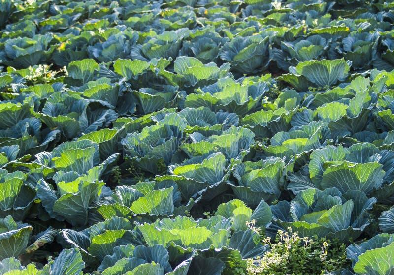 Groene koollandbouwbedrijf stock foto's