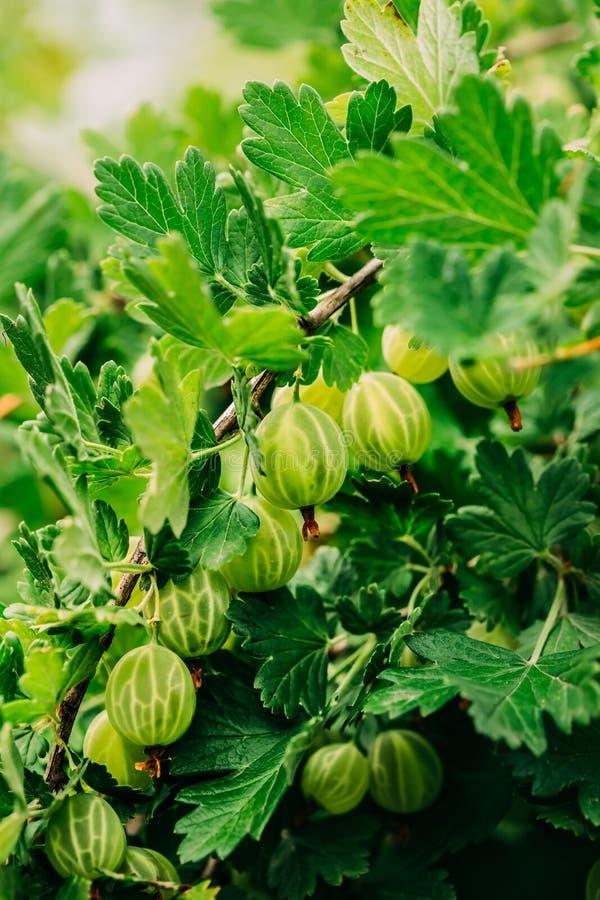 Groene kruisbessen Het kweken van Organische Bessenclose-up op een Tak stock afbeeldingen