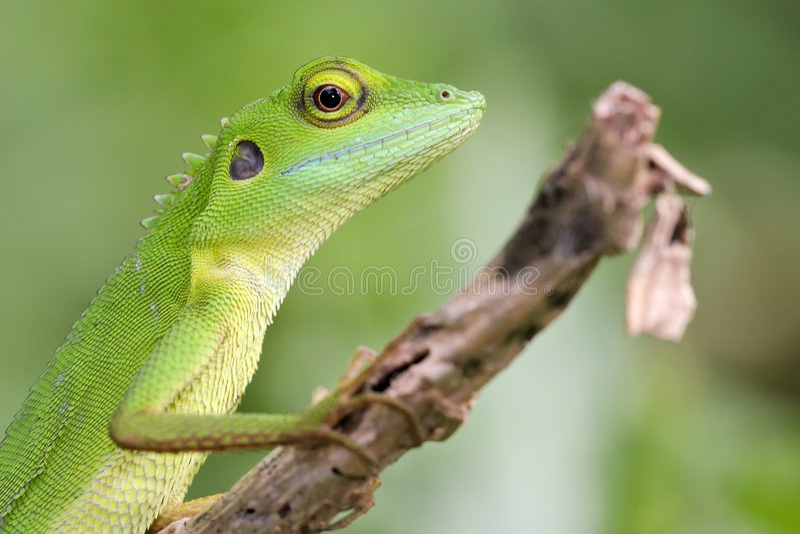 Groene kuifHagedis 2 royalty-vrije stock afbeeldingen
