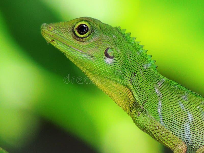 Groene kuifHagedis royalty-vrije stock afbeelding