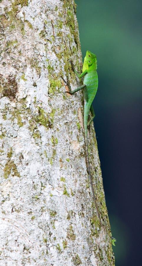 Groene Kuifhagedis, Bronchocela-cristatella royalty-vrije stock fotografie
