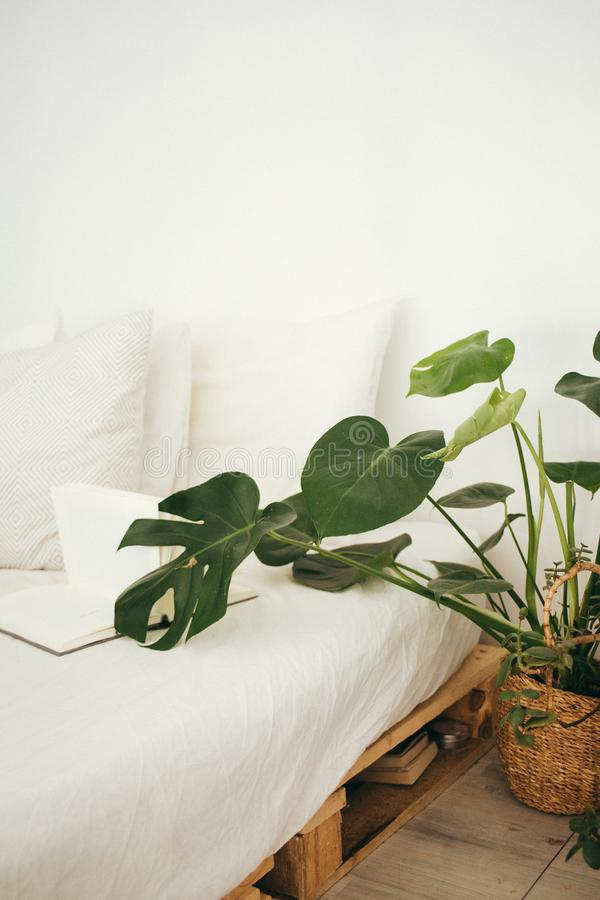 Groene lederplant in Brown Pot Inside Room stock fotografie