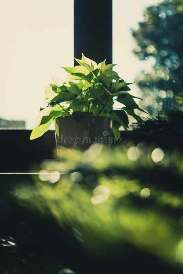 Groene lederplant op bruine houten pot royalty-vrije stock fotografie
