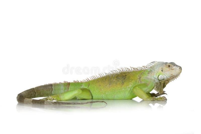 Groene leguaan stock fotografie
