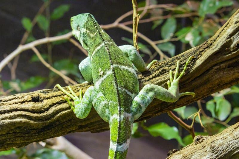 Groene leguaan die op een logboek beklimmen stock foto's