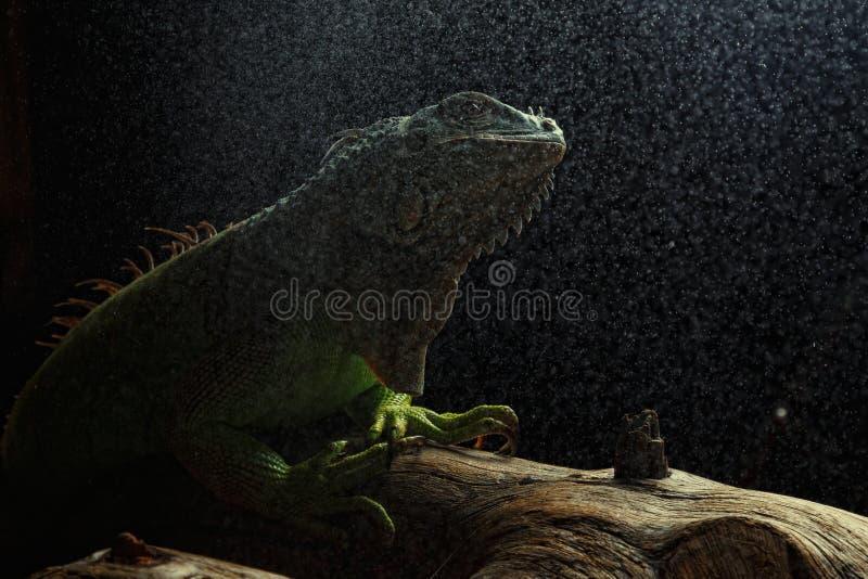 Groene Leguaan op tak stock afbeelding
