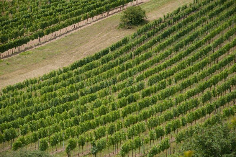 Groene lijnen van wijnstok in wijngaard royalty-vrije stock foto