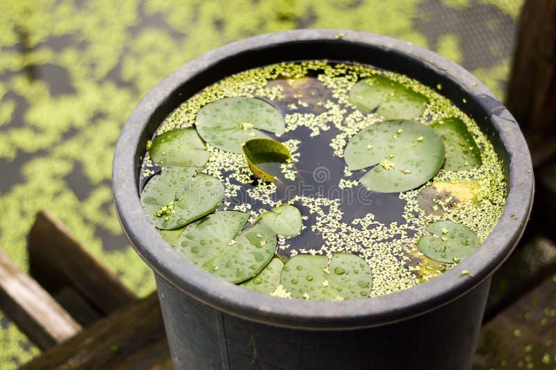 Groene lotusbloeminstallatie in plastic pot stock fotografie