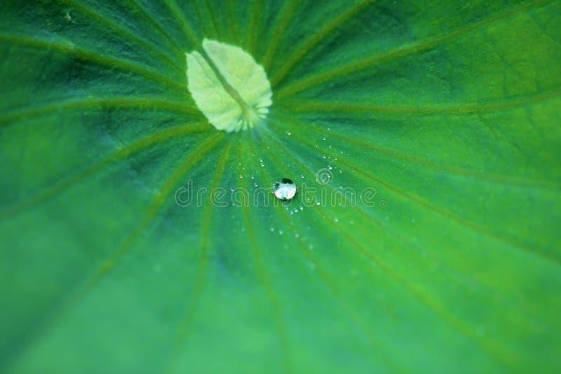 Groene lotusbloemverlof en dalingen stock afbeeldingen