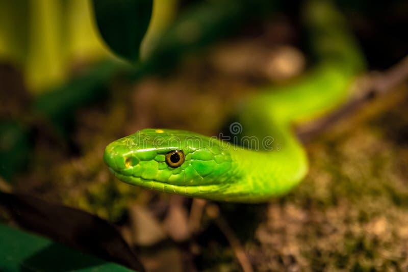 Groene mamba stock foto's