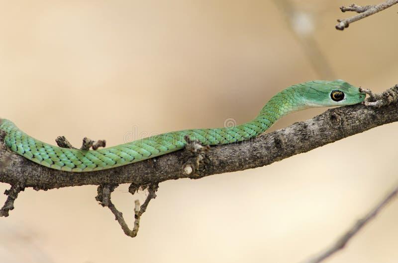 Groene Mamba in de wildernis royalty-vrije stock afbeeldingen