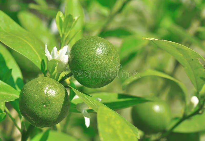 Groene mandarin onrijpheid royalty-vrije stock foto
