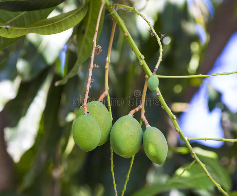 Groene mango op boom in tuin royalty-vrije stock afbeelding