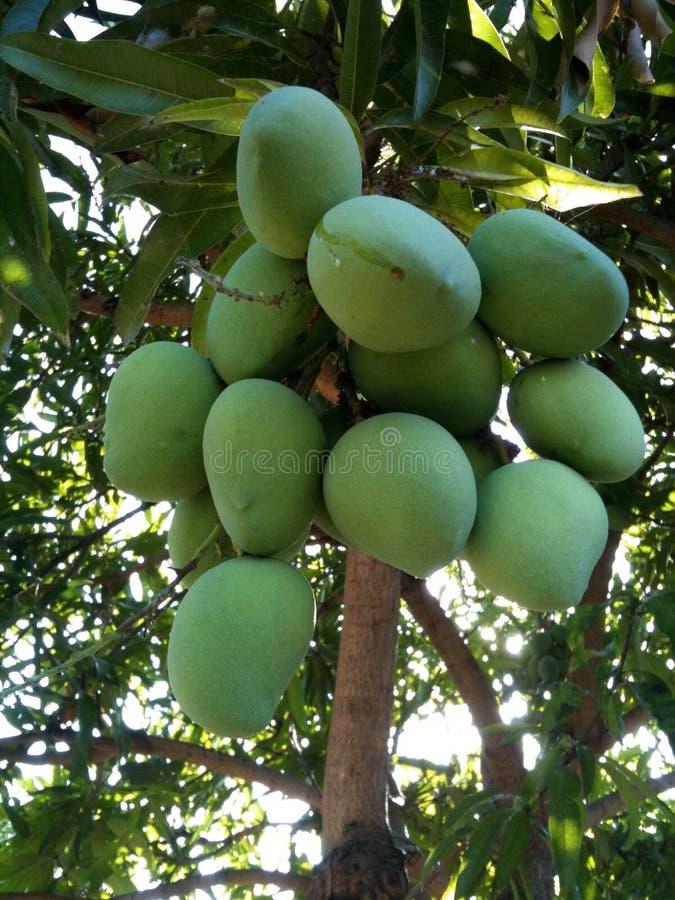 Groene Mango's royalty-vrije stock afbeelding