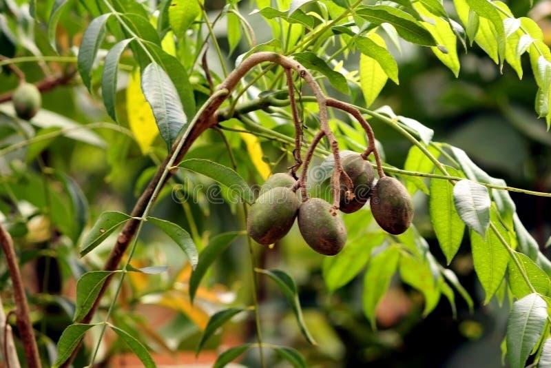 Groene Mango's die op branchs van Mangoboom groeien royalty-vrije stock foto