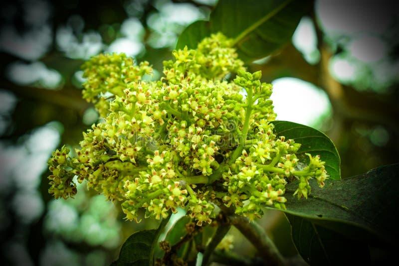 Groene Mangobloemen met Blured-Achtergrond royalty-vrije stock afbeeldingen
