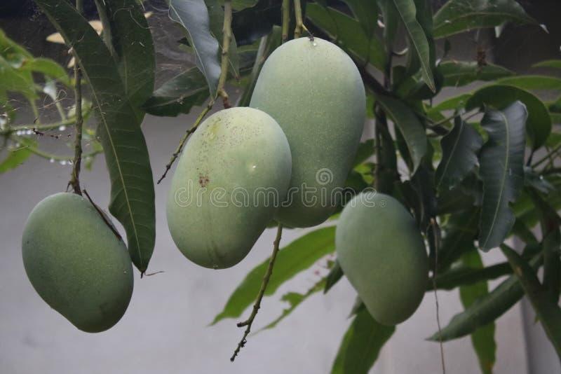 Groene mangoes/ঠ† ম met blad royalty-vrije stock foto