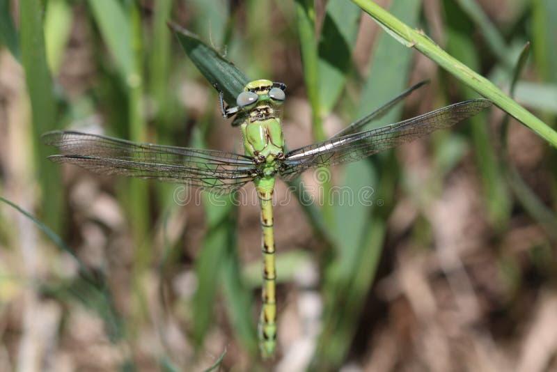 Groene Meadowhawk royalty-vrije stock afbeeldingen