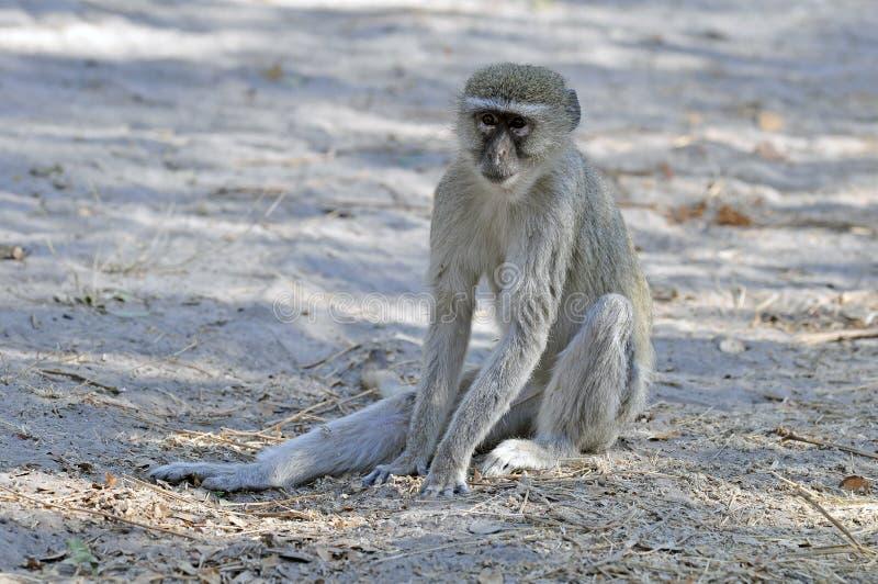 Groene Meerkat, macaco de Vervet verde, pygerythrus de Chlorocebus imagem de stock royalty free