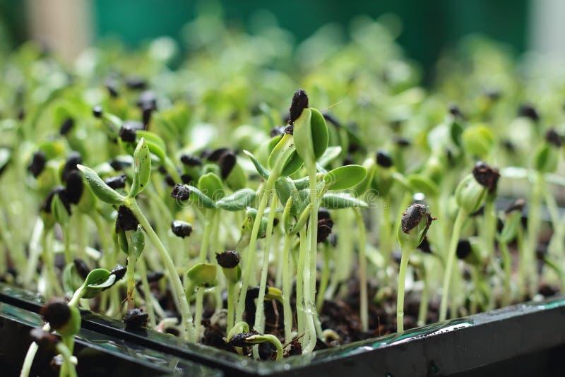 Groene micro, groenten stock fotografie