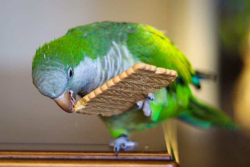 Groene monniksparkiet of quaker papegaai die een koekje eten royalty-vrije stock fotografie