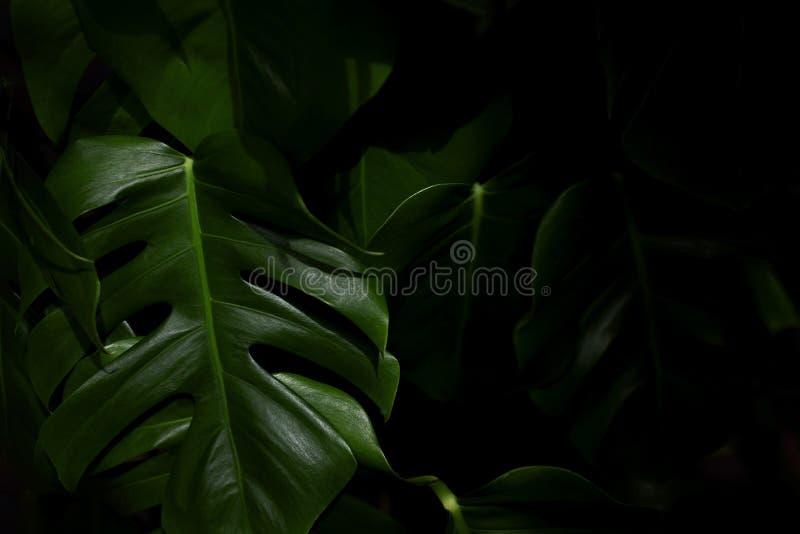 Groene monsterabladeren royalty-vrije stock foto