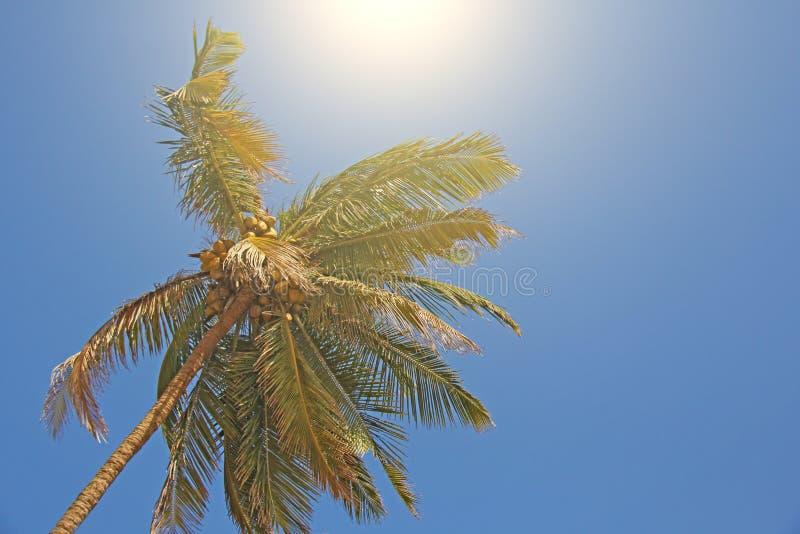Groene mooie palmen met kokosnoten tegen de blauwe hemel en de zon Mooi tropisch en exotisch achtergrond of landschap stock fotografie