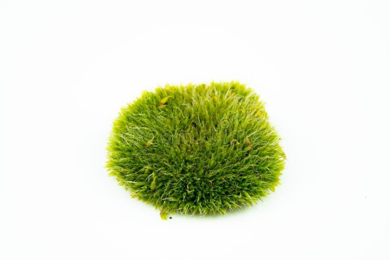 Groene mossen op wit royalty-vrije stock fotografie
