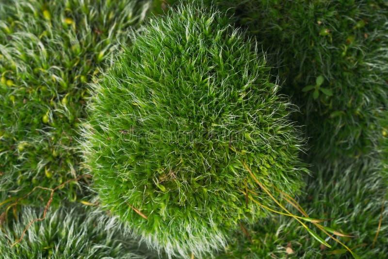 Groene mossen op wit stock foto