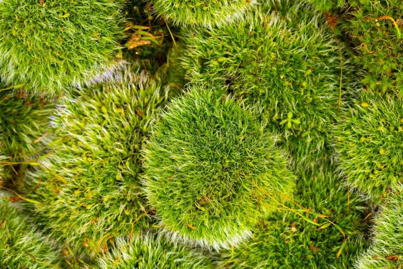 Groene mossen op wit stock fotografie