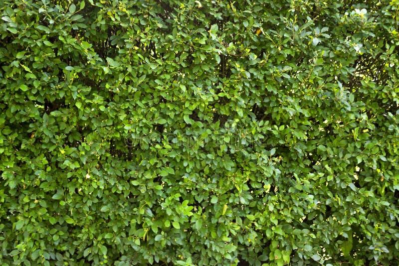 Groene muur royalty-vrije stock fotografie