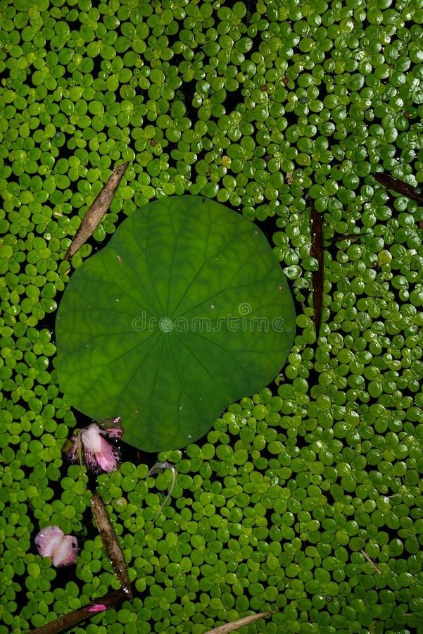 Groene natuurlijke en aquatische achtergrond, eendekroos in kruik royalty-vrije stock fotografie