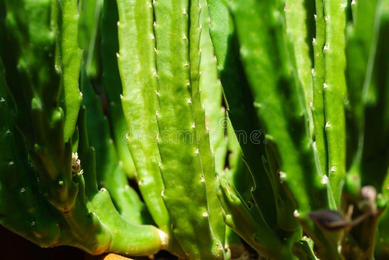 Groene natuurlijke installatieachtergrond - stammen van succulente Stapelia stock fotografie