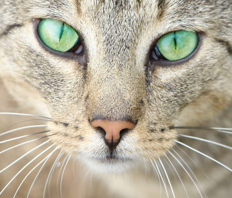 Groene ogen van een kat. stock fotografie