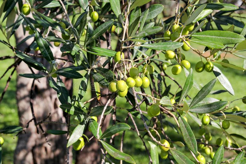 Groene olijven in een olijfboomtak De olijfboom met groene olijven, sluit omhoog Concept olijven, traditie stock fotografie
