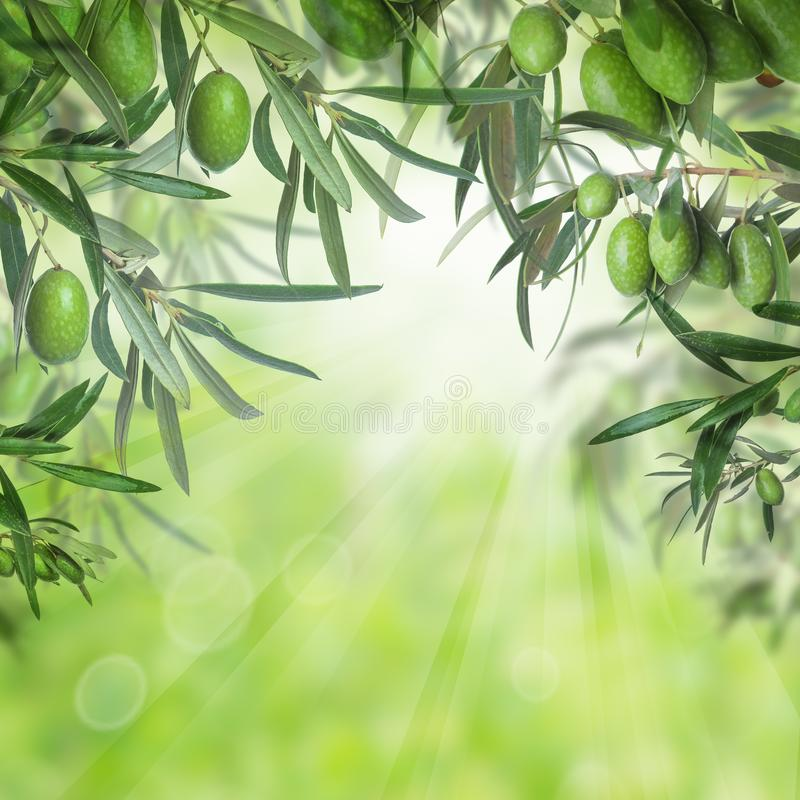 Groene olijven en bladeren van olijfboom royalty-vrije stock fotografie
