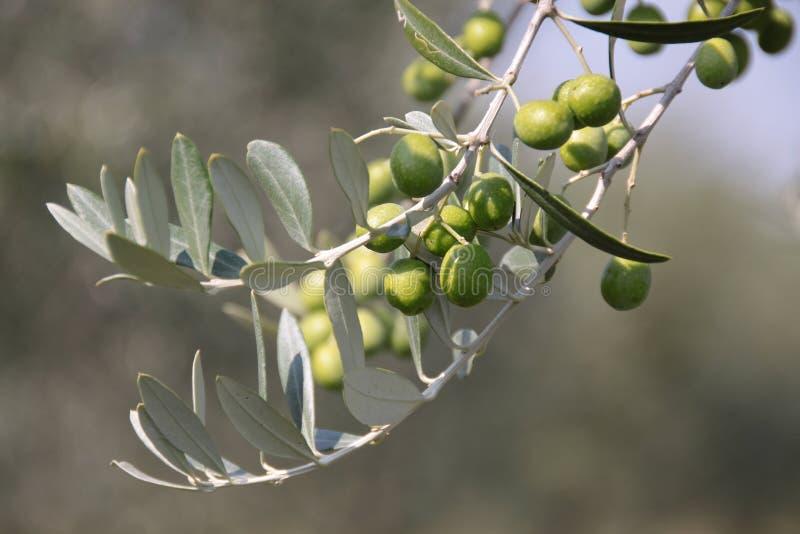 Groene olijven op de boom royalty-vrije stock afbeelding