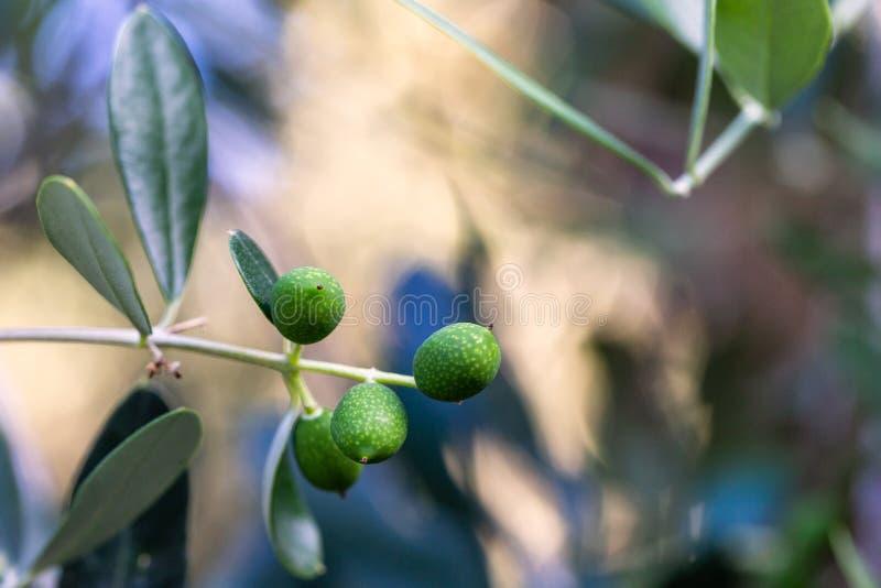 Groene olijven op de boom stock foto's