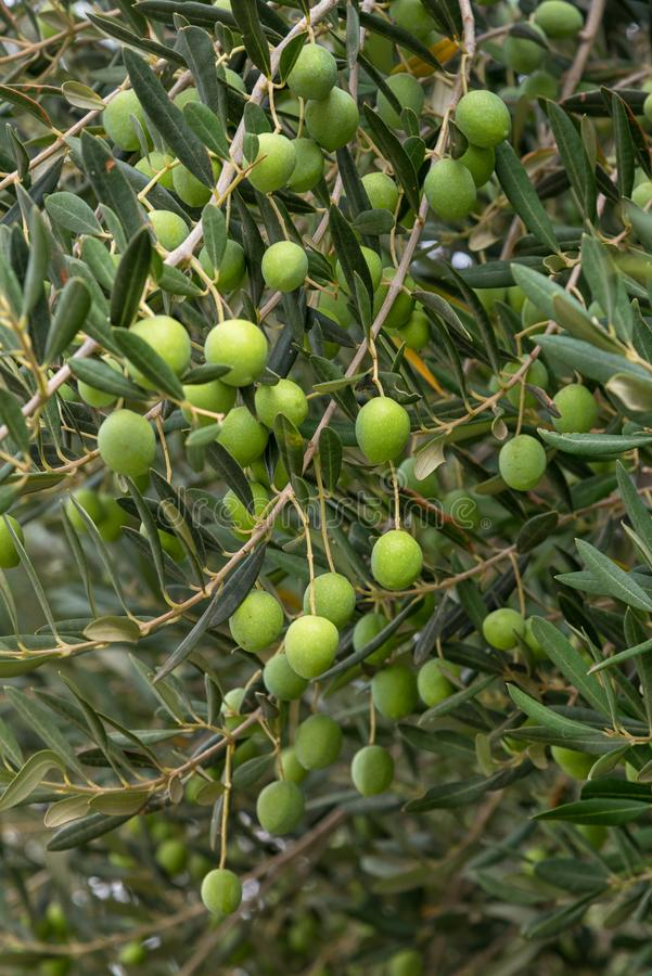 Groene olijven op een boom stock fotografie