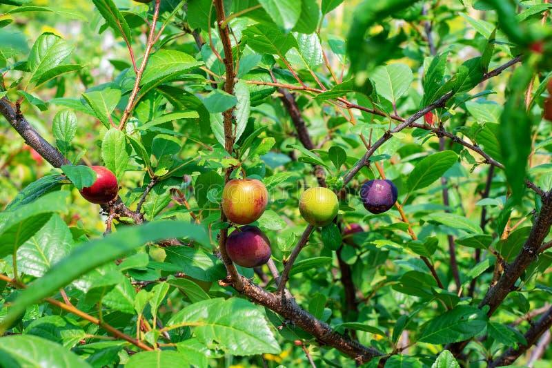 Groene onrijpe pruimen op de boomtak in de tuin royalty-vrije stock fotografie