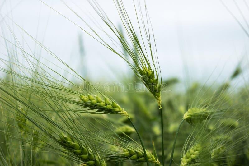 Groene onrijpe tarwe Een gebied van tarwe Vele korrelinstallaties stock foto's