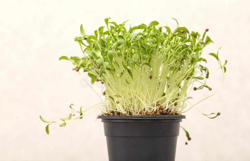 Groene ontkiemde korianderspruiten met zaden in een pot op een lichte achtergrond stock foto's