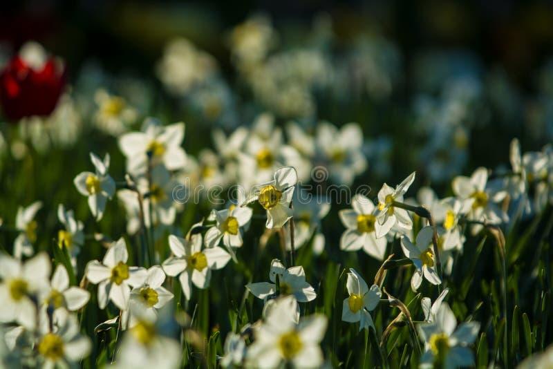 Groene open plek van witte en gele kleuren van narcissuses op een de lentedaling, in zonneschijn Mooie aard stock afbeelding