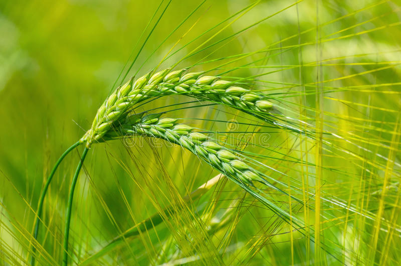 Groene oren van gerst stock fotografie